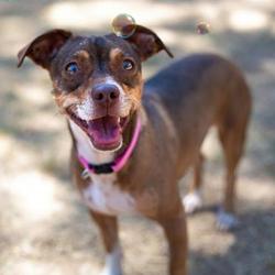 Adopt a dog:Phoebe/Dachshund / Chihuahua Mix/Female/Young,