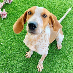Adopt a dog:Rooster/ Hound / Pointer Mix/Male/Young,