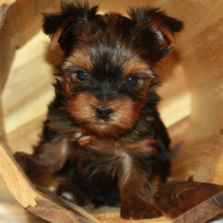 Charlie/Yorkshire Terrier/Male/7 Weeks,Charlie is such a charmer and such a doll. He is stunning and just as sweet as could be. He has no idea how small he is and loves to play and romp with his littermates. He wants to be the center of attention, which is easy for him to get because he has those eyes that captivate anyone who walks in the room Charlie did great for his first vet visit and loved his first bath. He didn't even mind the pedicure that followed. If you are looking for a puppy to bring joy into your home, you have found Charlie.