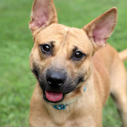 Adopt a dog:Kenny/Australian Cattle Dog / Blue Heeler Mix/Male/2 years,