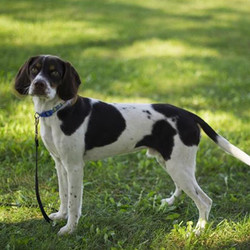 Adopt a dog:Chops/English Springer Spaniel / Beagle Mix/Male/Puppy ,Chops is a high energy puppy. He will need lots of room to play and run. Patience is much needed with him especially when taking him outside to use the bathroom as he is particular about where he likes to go and takes time to assess his options. Trips to the dog park are perfect for him. However, he doesn't understand the concept of staying close and we have kept a short leash on him to make it easier to catch him. He is extremely fast. He gets along with most dogs and people. He gets energy spurts where he will need to run around and play to get his energy out. He is not the best on a leash, but with work, he will be good. He is smart and has learned things quickly. He cannot be left unsupervised as he is very quick and sneaky to get into things and needs to be redirected frequently. He has attempted to chew on our area rugs, trim, sides of the couch, and blankets. We have lost three pairs of shoes because of him. He is also extremely rough on toys and will destroy stuffed toys in under 10 minutes. He loves toys with squeakers but has been known to rip the squeaker out and chew on that. He is also extremely mouthy and likes to nip. With training, he has the potential to be a very good dog. He poops up to four times per day. He is good in the car. He's learning to play fetch. His face is very soft and he has cute eyes.Chops is a peanut of a spaniel, weighing in at only about 25 lbs. He loves attention and doesn't like having wet toes. He walks well on a leash and happily snoozes away in his crate. We're not sure how well he is with other dogs yet, but we'll update as soon as we know more. A young boy, Chops will need training for basic manners and lots of exercises outside. He does not seem to be timid but also isn't the most outgoing dog we've ever met. Based on first impressions, I think he'd do best with an active family that is committed to consistent training and likes a snuggly dog. He loves good morning stretches and a scratch behind the ears.