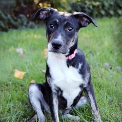 Adopt a dog:Shelby Rose/Smooth Collie Mix/Female/Young,