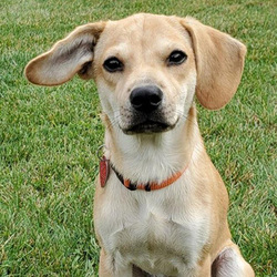 Adopt a dog:Gage/Dachshund Mix /Male/Puppy ,