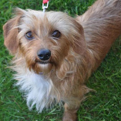 Bountiful/Wirehaired Dachshund Mix/Female/Adult