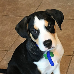Adopt a dog:Aero/ Beagle Mix/Male/Puppy,