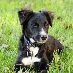 Adopt a dog:Pirate/Border Collie Mix /Male/Puppy,