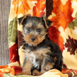 Chance/Yorkshire Terrier/Male/16 Weeks