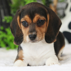 Flora/Beagle/Female/7 Weeks