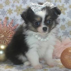 Adopt a dog:Harper/Chihuahua/Female/ 7 Weeks,
