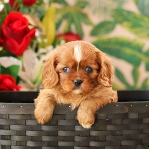 Rascal Red/Cavalier King Charles Spaniel/Male/10 Weeks,Meet Rascal Red, a curious Cavalier King Charles Spaniel puppy. This snuggly pup is vet checked, up to date on shots and dewormer, plus the breeder provides a 30 day health guarantee. Rascal Red can be registered with the AKC and he loves wagging his little tail as fast as he can! If you are interested in welcoming this adorable fella into your heart and home, contact Mr. Stoltzfus today!