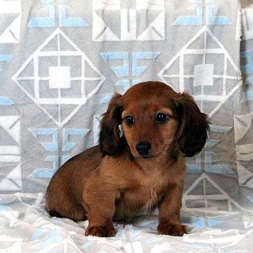Snickers/Dachshund/Male/12 Weeks,Snickers is a lovable Dachshund puppy that has a sweet nature! He has been vet checked and is up to date on all shots and wormer. This gentle pup can be registered with the ACA and the breeder provides a health guarantee. Please call the breeder today to find out if Snickers is the right puppy for you!
