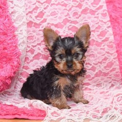 Toby/Yorkshire Terrier/Male/10 Weeks