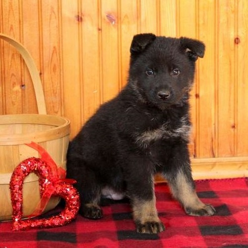 Kip/German Shepherd/Male/8 Weeks,Kip is a sharp looking German Shepherd puppy with a charming personality. This friendly fella is vet checked, up to date on shots and wormer, plus comes with a one year genetic health guarantee provided by the breeder! He can also be registered with the AKC. Kip is family raised and loves to romp around and play. To learn more about this stunning pup, please contact the breeder today!