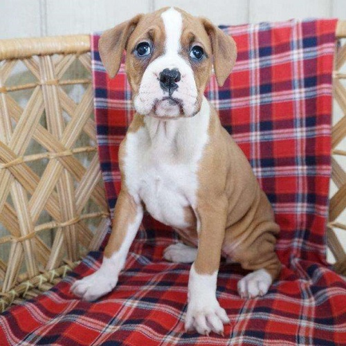 Gracia/Boxer/Female/15 Weeks,Meet Gracia, a cute Boxer puppy who loves to play! This sweet gal is vet checked, up to date on shots and dewormer, plus the breeder provides a health guarantee. Gracia can be registered with the AKC and she is well socialized. If you would like to learn more about this adorable pup and how you can bring her home, contact the breeder today!
