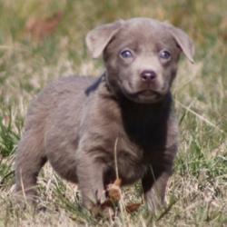 Brady/Labrador Retriever/Male/15 Weeks