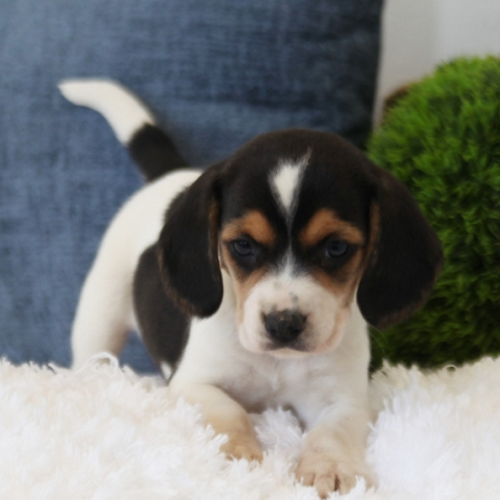 Iggy/Beagle/Female/6 Weeks,Hi there; my name is Iggy. I am silly and sweet as can be, and I am sure that I will make that perfect addition to your loving family. My favorite things to do are giving kisses, napping, and of course being a great friend. I am a very happy puppy as you can tell. I know I will make you smile. I am looking forward to going to my new home. I will be sure to be up to date on my puppy vaccinations and vet checked from head to tail, so we can go on those long walks together. If you are looking for a puppy that will make you laugh and smile, then look no further. I am the best at making people smile.