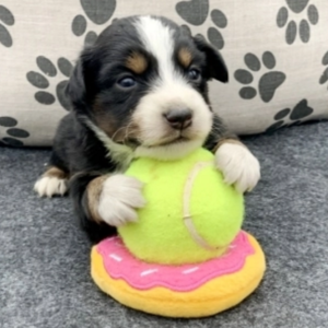 "Cotter/Australian Shepherd/Male/8 Weeks,""Well, hello there! My name is Cotter. I love to lay outside and grab some of that morning sunshine; it's exactly what I need to jump start my busy day. I love to play fetch and anytime I see a ball I get very excited about chasing after it. I'm always alert, waiting to see what we can do together. When you pick me, I will come with up to date on vaccinations and vet checked from head to tail. Don't miss out on bringing me home!"""