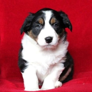 Lilac/Australian Shepherd/Female/13 Weeks,Lilac is a sharp looking Australian Shepherd puppy with a playful spirit. She has been vet checked, is up to date on shots and wormer, plus is being family raised around children. She also comes with a 30 day health guarantee provided by the breeder and can be registered with the AKC. Lilac's mother is the family's beloved pet and is available to meet as well. With her attractive coloring and markings she is sure to put a smile on your face. To learn more about this fun-loving pup, please contact the breeder today!
