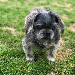 Avery/Shih Tzu/Male/Adult