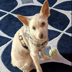 Adopt a dog:Rudy/Schnauzer / Scottish Terrier Mix/Male/Adult,