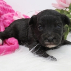 Miss Lucy/Maltipoo/Female/4 Weeks,Take a look at this adorable, little girl. Miss Lucy is full of fun and is the prettiest puppy. She loves to spend her days snuggled up next to anyone who has a seat on the couch! Miss Lucy is also very active and likes to play with her toys. It is so much fun to watch her play. She would be a wonderful addition to your family and would love you unconditionally. Miss Lucy will come home to you with her vaccinations up to date and with her newly issued health certificate. Her bags are packed and she is ready to head home to meet you!