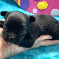 Claudia/Chihuahua/Female/5 Weeks
