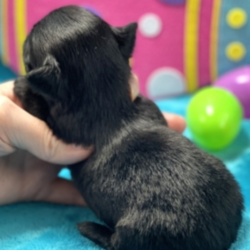 Claudia/Chihuahua/Female/5 Weeks,Meet Claudia! She is the true friend you've been looking for. will have a nose to tail vet check and arrive with a current health certificate. She can't wait to be cuddled in your arms for naps or playing with you outside on those bright, sunny days. You can depend on Claudia to put a smile on your face every morning when you wake up to her. Act now before you miss out on this little girl.