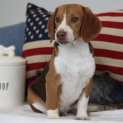 Junior/Beagle/Male/18 Weeks