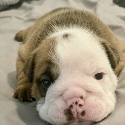 Ziggy/Bulldog/Male/3 Weeks,Ziggy is a AKC Bulldog from champion lines. He will be sure to shower you with his puppy love kisses every morning just to let you know how much you mean to him. Ziggy will come home to you happy, healthy, and ready to play. He will be up to date on his puppy vaccinations and vet checks, just in time to come to his new home. Don't miss out on the newest addition to your family. He will be sure to steal your heart away.
