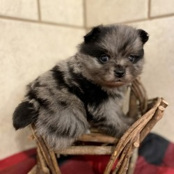 GiGi/Pomeranian/Female/5 Weeks,Gigi can't wait for you to kiss her cute, black nose while she wags her frisky little tail. Her beautiful blue eyes will steal your heart while she curls up under your neck! Before coming home to you Gigi will be vet checked and up to date on her puppy vaccinations. She will be ready to for all the snuggles that you have planned. Make this cuddle bug your baby today!