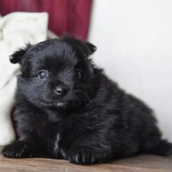 "Ramsey/Pomeranian/Female/9 Weeks,""Hi! My name is Ramsey and there is no need to look any further, because I am the one for you! I promise to brighten your every morning with puppy kisses and snuggle with you every night. I have the nicest coat that just begs to be pet. I have a secret to share with you, too. I absolutely love to have my tummy rubbed! I love it so much that I will melt in your arms while you do it. Don't you want me to be the newest addition to your family? I will have a complete nose to tail vet check and my vaccinations will also be up to date. Choose me and I promise to make a lifetime of memories with you. I can't wait to leap in your arms and be yours forever!"""