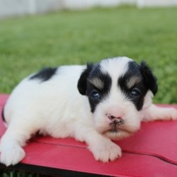 """Jack/Coton de Tulear/Male/4 Weeks,""""Hi! Do you enjoy long walks at the park and having snugly cuddle fests? My name is Jack, and I am the perfect puppy for you! I am a feisty little pup with lots of energy and lots of love to give. I am looking for good morning belly rubs and would be overjoyed to be a part of your family. I will be coming home with my vaccinations up to date and vet checked. I promise to be a wonderful, little fur-ball and a little slice of heaven. I can't wait to go to my forever home! Well, what are you waiting for? No one can resist me!"""""""