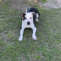 Adopt a dog:Dixie/American Staffordshire Terrier/Female/Baby,Hi there!  My name is Dixie! I am 14-16 months and I weigh 50 pounds! I was owned by a family who lived in an apartment in Houston, Texas but, unfortunately the landlord realized I was a pittie mix and the family could no longer keep me. They had multiple children and I missed them very much at first! I am very well socialized with other dogs and kiddos! Luckily the rescue found out about me and was able to find a foster rather then letting me go to a kill shelter. I was SAVED!  I currently live in a foster home with 3 other dogs, 2 kids and 2 adults. I LOVE IT! I just adore children but really would be happy for just about anyone who would give me some one on one time! I am very happy go lucky and super curious. I'll follow people around the house just to see what they're up to and when it's time to settle down for the night you can bet I wanna cuddle on the couch with you...on you...whatever...just consider me a lapdog!   I love running around the yard with the other dogs and have gotten used to a home with a decent size yard and have decided its fantastic! I definitely am very confident and don't know what a stranger is. I'm a lover not a fighter for sure! There are 2 male dogs in the house and they are my best friends. One is small and the other is 100 pounds and I am great with both! There is one large female dog as well and we can butt heads sometimes but over the last month we have pretty much settled our differences. I think I would still be happiest as the only female pup in the house as I don't like competing for alpha female dog. That being said if I meet a female dog on the street I still think we're best friends from the get go. It's definitely just in the house that I get possessive of my things.   I am still located in Houston, Texas but am super excited to find my forever home and get transported to your area! Will you be my family? For more info on me please email Stephanie at nicole.whar94@yahoo.com.