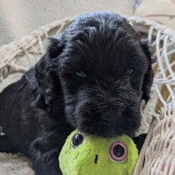 Merle/Goldendoodle/Male/,