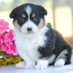 """Mandy/Pembroke Welsh Corgi/Female/,Best of the bunch! Mandy is definitely the puppy of your dreams. Cuties like these are a rare find, so don't miss out on making her part of your family. Once she gives you the first puppy kiss, you'll never want to let go. Wouldn't you love to have her cuddled up with you? Mandy is full of puppy love that she wants to share with you! """"Let's make some great memories together!"""