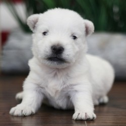 """Oliver/West Highland White Terrier/Male/,""""Hey! My name is Oliver and I'm ready for you to pick me, so that I can brighten up our home! I'm full of life and fun. I can be the best movie, walking, and cuddle buddy that you will ever come across! Both of my parents are exceptional examples of our breed. I will arrive to you healthy and with my vaccinations up to date, before wiping my paws on our welcome mat. Ready for a lifelong best friend? Well, I'm ready for my forever family!"""""""