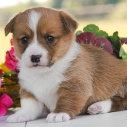 Marsha/Pembroke Welsh Corgi/Female/,This is Marsha! Marsha has a beautiful and unique look; doesn't she? She also has an amazing personality to match. Marsha loves everyone she meets and loves to shower you with all of her sweet puppy kisses. Marsha will have a nose to tail vet check and arrive up to date on her vaccinations. You can't go wrong with this cutie. Marsha is so anxious to meet her new family. Her bags are packed and ready to go!