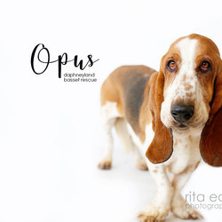 Adopt a dog:Opus/Basset Hound/Male/Adult,Opus was a Craigs List Hound, and his rescuer worked with him until it became obvious that it was not working out.  Opus is a good hound, typical of bassets - stubborn, headstrong and playful - yet he will require an adoptive home with training skills. Opus has some collar line issues and while he likes to be pet he has no-no spots that change frequently. If you are interested in Opus, please visit our website at www.daphneyland.com and complete an adoption application.