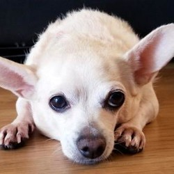 Adopt a dog:Fiona/Chihuahua/Female/Senior,*Needs another dog*best with older kids10+*  Here ye, Here ye... I present to you, her majesty, Fiona! Fiona is a 10 year young Chihuahua mix who loves being the Sleeping Beauty of the house. She loves giving those puppy dog eyes to persuade you into giving her a nibble, asking you to lift her onto the tip top of the bed, and of course, what is sleeping beauty without her naps! When she's not accompanying you with binge watching Netflix all day, you can catch her doing happy jumps, burrowing herself under the blanket, and cuddling with her favorite buddy (her cat sibling!). Fiona is great with other dogs and cats and is very gentle. She is currently working on shredding a couple extra pounds at her foster home and doing a great job at it. Fiona needs a patient home that can provide her the comfort of security, since she is a little timid at first... and because she toots a lot.  If you are interested in adopting, please visit the I.C.A.R.E. Dog Rescue website and complete an adoption application: www.icaredogrescue.org/ready-to-adopt  Adoption fee includes: spay/neuter shots up to date micro-chip fecal and vet checkClick here to watch a video of Fiona.
