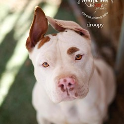 Adopt a dog:ADORABLE  DROOPY/Staffordshire Bull Terrier/Male/Adult,Droopy is so sweet and wonderful! He is the sweetest boy, and has the cutest ears! HE IS SO SWEET and loves giving kisses and cuddling! He is lower energy but wants to live life and have fun!!!! Droopy and his sister Panda, who is also available for adoption, were taken to the shelter because their family was moving. LBWF was asked to save these 2 wonderful dogs, and now they are waiting for their forever loving home. Droopy gets along with other dogs, but can be particular at times, and would make a fun companion companion! Droopy is up to date on vaccines, neutered & microchipped. If you are interested in adopting Droopy please fill out an application today and tell us about the great life you have planned for him! Applications can be found on our website www.LindaBlairWorldheart.org under the Adopt Today tab.  Please visit our website to see all of our dogs available for adoption. Visit our Facebook page to see more pictures of our dogs Facebook.com/LindaBlairWorldheartFoundation  Southern Ca adoptions only due to home checks.