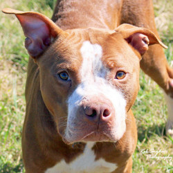 Squiggle/Pit Bull Terrier/Male/Adult
