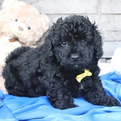 """Franklin/Bernedoodle/Male/,""""Hi! I'm Franklin. I'm currently searching for a good, loving home. I hope to find a family that loves to play and loves to receive puppy kisses! I'm good at giving out plenty. Whether we're playing or cuddling together, I promise to be your most loving companion. I will arrive to my new home up to date on vaccinations and pre-spoiled. I can't wait to meet you. I have so much fun planned for us! See you soon!"""""""