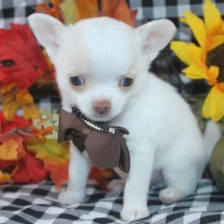 Archie/Chihuahua/Male/,Archie is the king of the castle and he's looking for a for royal family to call his own. During the day, he lays around the house, being a couch potato. But don't let this lazy boy trick you, once you are ready to play, he is all game. This adorable puppy will melt everyone's heart. Archie will have a complete nose to tail vet check and will arrive up to date on his vaccinations. Archie is ready to join your kingdom today! Call today!