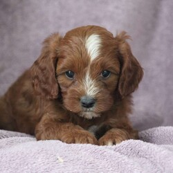 Charles/Male /Male /Cavapoo Puppy,Meet Charles, a fun loving Cavapoo puppy ready to win your heart! This delightful pup is vet checked, up to date on shots and wormer, plus comes with a health guarantee provided by the breeder. Charles is family raised with children and would make a wonderful addition to anyone's family. To find out more about this darling pup, please contact Jonathan today!