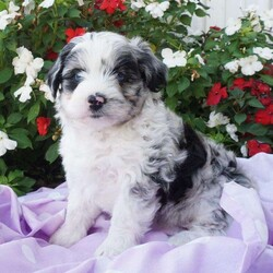 Snickerdoodle/Female /Female /Miniature Aussiedoodle Puppy,Meet Snickerdoodle, a playful Miniature Aussiedoodle puppy! This well socialized gal is up to date on shots and dewormer and comes with a 30 day health guarantee provided by the breeder. Snickerdoodle is farm raised with children and will be vet checked before you bring her home! Her curly coat and adorable face are sure to steal your heart the moment you meet her. To learn more about adopting this cutie, please contact the breeders today!