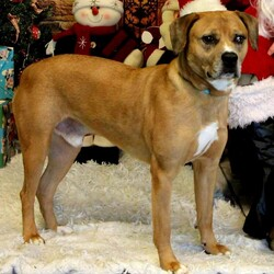 Adopt a dog:Brutus/Mixed Breed/Male/Adult,Introductions are in order for our Brutus, a romping, stomping brown - Pit Bull Mix.  Brutus would love a big back yard to roam and play around in, also he loves taking long walks!  He does get along with other dogs, and has fun playing fetch.  We are asking for him to be in a household of kids over the age of 10, Brutus just doesn't have the patience for little children.  Come see this charmer today!