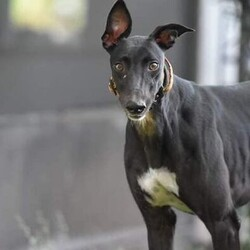 Adopt a dog:PS Taekwondo/Greyhound/Female/Adult,(PS Taekwondo) Betty, is petite, weighing 50 lbs.  with a shiny black coat and white markings on her chest, feet and the tip of her tail.  Her birthday is May 5, 2019. She is curious about all aspects of her new life, a quick learner of routines and her foster parents expectations.   Betty is a little shy when meeting new people, she has no issues with medium or large dogs ( she hasn't experienced small dogs or cats yet). She loves every dog toy in the house, especially ones she can chew or toss up in the air  She is a great eater and is starting to love getting treats! She follows us throughout the house and loves getting petted. She looks up to and follows our own greyhound (Ginger) everywhere. She will make a wonderful addition to a lucky home.  Maybe yours?  Betty is fostered in Venice.  Her adoption fee is $335.  This covers her spay, dental, heartworm test, microchip and her shots are up to date.  If you would like to meet our beautiful Betty please call Janet at 573 535-4812.