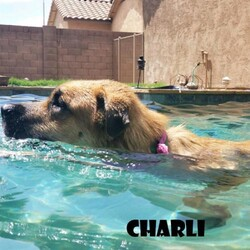 Adopt a dog:Charli/Anatolian Shepherd/Female/Young,You can fill out an adoption application online on our official website. Our adoption fee is $425 for all breeds and all ages. This fee helps to defray the costs for general vet costs, training, supplies and transportation. We are foster based and our organization is national, we have dogs in foster all over the country. Please inquire if you do not see information about a specific dogs location in the description.  If you are interested in adopting this Big Mutt please go to www.thebigmuttnetwork.org. No one will be considered for adoption prior to completion and approval of an application. Please be patient with us as we are 100% volunteer based and limit inquiries for after the application is complete. We appreciate you choosing us to help you make your family whole.  If the dog is listed, it is still available. We make status changes very quickly to avoid allowing you to fall in love with someone who found their home :)