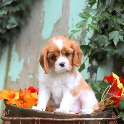 Dakota/Male /Male /Cavalier King Charles Spaniel Puppy