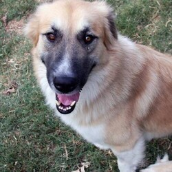 Toby/Anatolian Shepherd/Male/Adult
